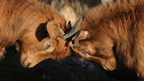 goats-692660_640.jpg